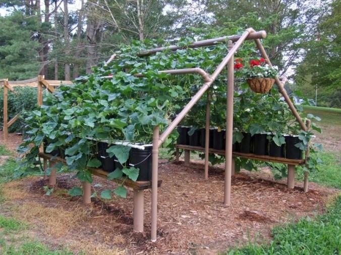 cucumber arber-trellis