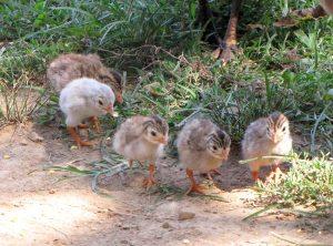 guinea babies