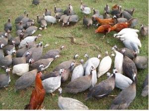 guinea-fowl-vs-rattlesnake
