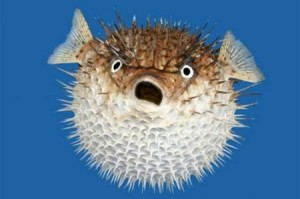 pic of blowfish