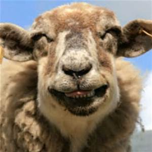 smile sheep