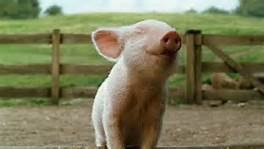 smiling baby pig