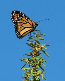 monarch on a plant