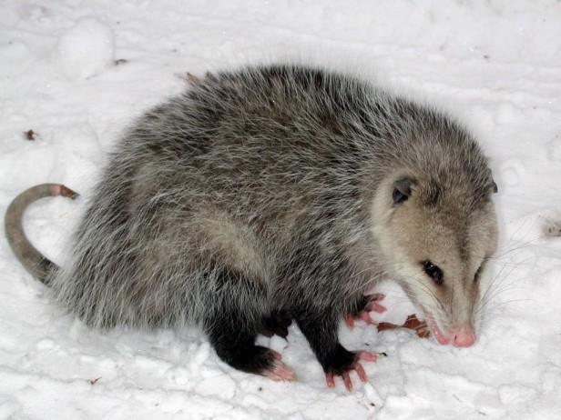 opossum 1