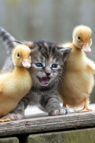 silly kitten n ducks