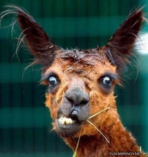 silly llama