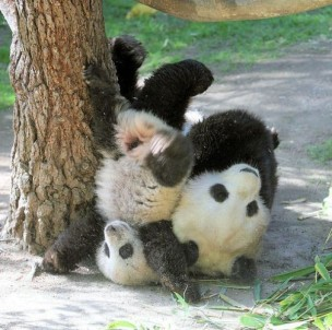 silly pandas