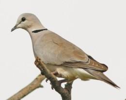 american dove