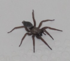 brown spider pic