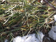 green grass 2-17-16