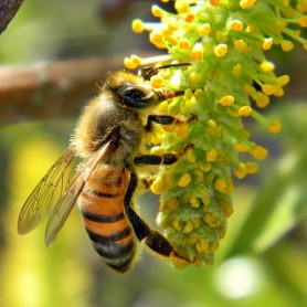 honey bee pic