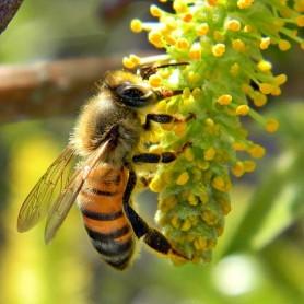 honey bee pic