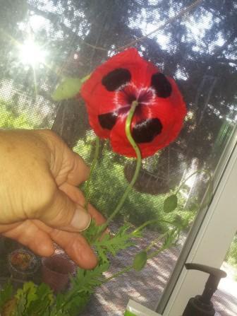 6-15-ladybug poppie backside