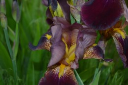 burgandy bearded iris 5-30-16.jpg