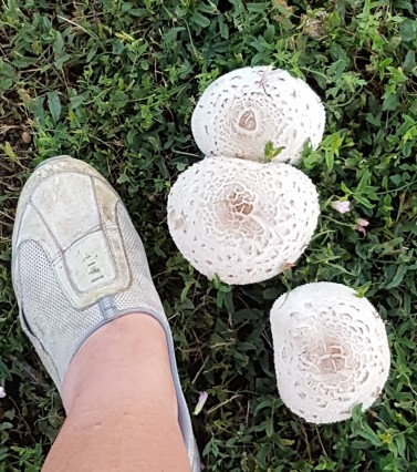 8-1 mucho mushrooms