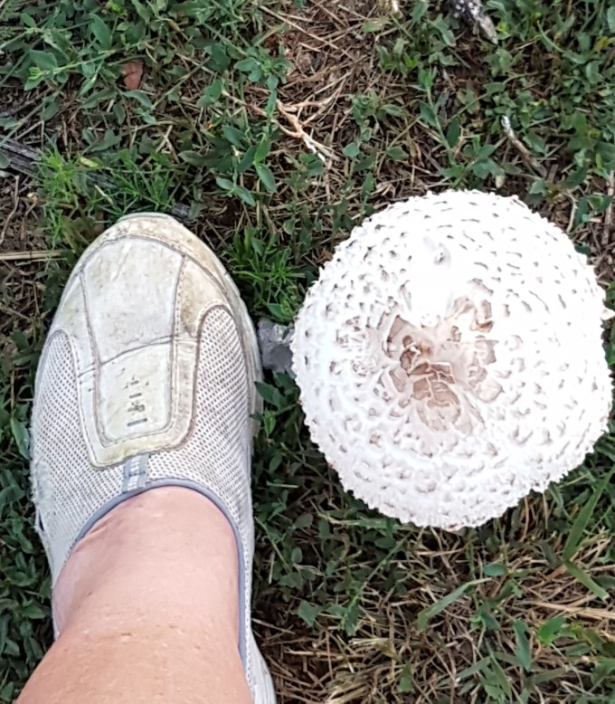 8-1 size of our shrooms