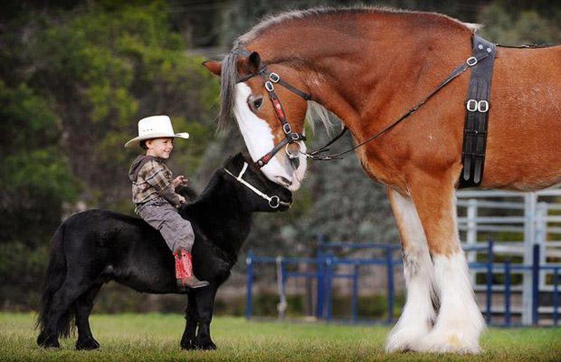 pony vs horse