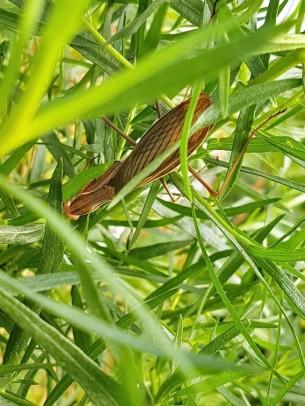 male-mantis-1