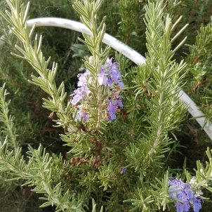 flowers-on-rosemary-1