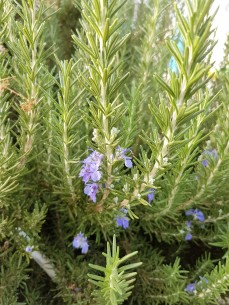 flowers-on-rosemary-2-3