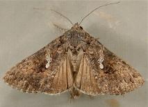 miller-moth