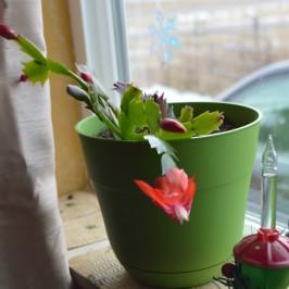 xmas-cactus-1