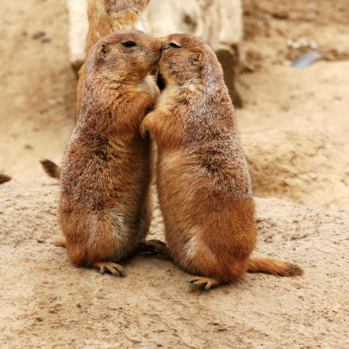 prarie-dogs-kissing