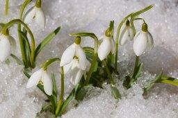 snowdrop-flowers-2