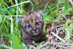 mountain-lion-kitten-photo national parks