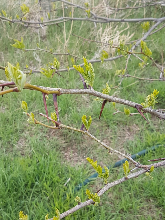 5-1-17 thorns on locust tree