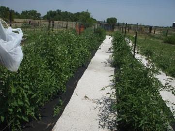 best tomato rows 2012