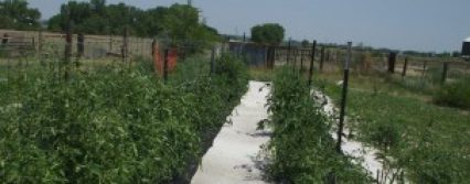 cropped-best-tomato-rows-2012.jpg