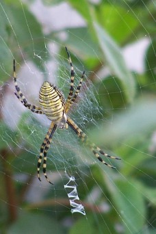 garden spider 1