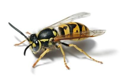 wasp-real