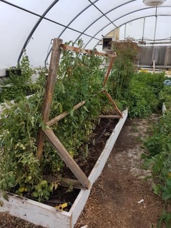8-6-17 new tomato setup in GH