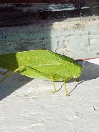 leaf-bug-10-3-17.jpg