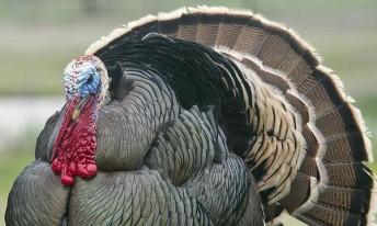 close up of wild turkey face