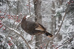 wild turkey in a tree