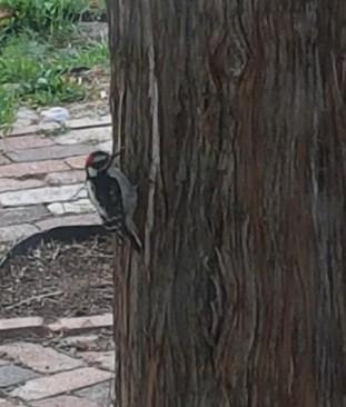 5-15-18 downy woodpecker (2)
