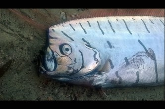 oarfish 1
