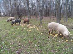 pasture farm pigs