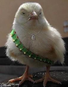 evil chicken 1