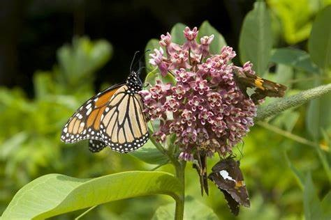 milkweed and monarch