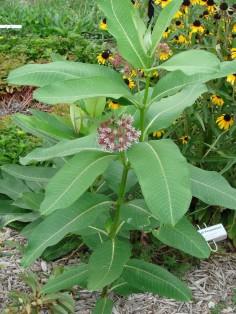 milkweed plant 2