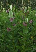 milkweed plant 3