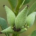 milkweed pod 1