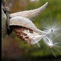 milkweed pod 2