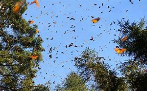monarch migration 1