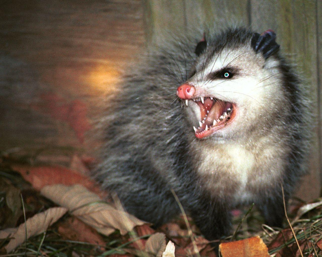 oppossum